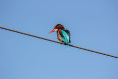 Blue King Fisher on electric cable 1 Royalty Free Stock Photo