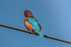 Blue King Fisher on electric cable 3 Royalty Free Stock Image