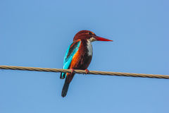 Blue King Fisher on electric cable 4 Royalty Free Stock Image