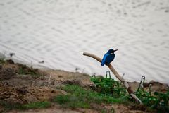 Blue kingfisher Royalty Free Stock Photo
