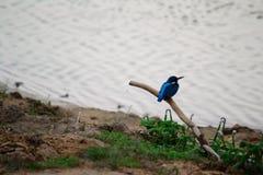 Blue kingfisher Royalty Free Stock Photo