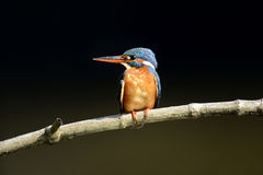 Blue Kingfisher bird Royalty Free Stock Images