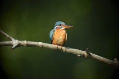Blue Kingfisher bird Royalty Free Stock Photography