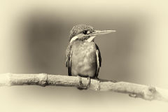 Blue Kingfisher bird. Vintage effect Royalty Free Stock Image