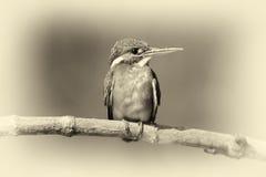 Blue Kingfisher bird. Vintage effect. Beautiful blue Kingfisher bird on a branch. Vintage effect Royalty Free Stock Image