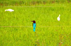 Blue Kingfisher Royalty Free Stock Photography