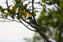 Blue kingfisher. In a tree Royalty Free Stock Images