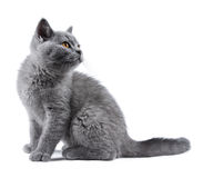 Blue kitten Royalty Free Stock Images