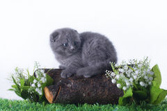 Blue kitten playing on the spring grass Royalty Free Stock Photo