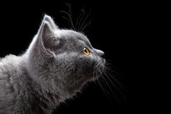 Blue kitten portrait Royalty Free Stock Photo