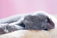 Blue Korat Kitten Stock Photos