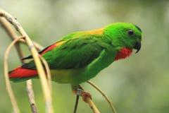 blue krönad hängande papegoja Arkivbild