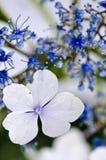 Blue Lace-cap Hydrangea Stock Photography