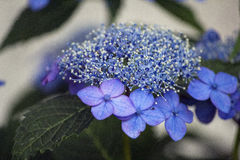 Blue lacecap hydrangea flower Royalty Free Stock Photo