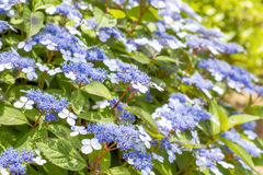 Blue lacecap hydrangea Royalty Free Stock Photos