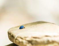 Blue lady bug Royalty Free Stock Photos
