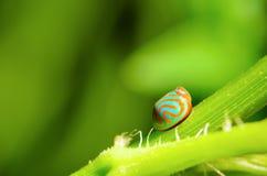 Blue Ladybug with orange stripe Stock Images