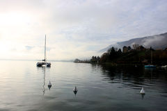 Blue lake of annecy with a parade of couple of grebes and mountains on winter morning Stock Photos