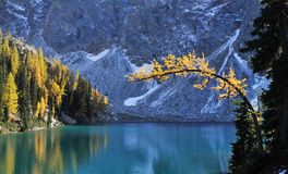Blue lake with golden larch tree in autumn Royalty Free Stock Photography