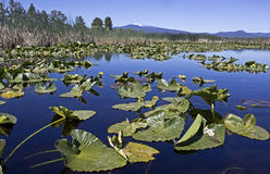 Blue Lake of Lily Pads With Mountains Royalty Free Stock Images