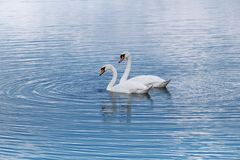 Blue lake and  white swans. Spring Stock Images