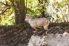 Blue Lamb stand on the rock that live in Padmaja Naidu Himalayan Zoological Park at Darjeeling, India.  Stock Photo