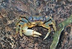 Free Blue Land Crab Cardisoma Guanhumi Stock Photos - 120144253