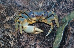 Blue Land Crab Cardisoma Guanhumi. Cardisoma guanhumi, also known as the blue land crab, is a species of land crab found in tropical and subtopical estuaries and royalty free stock photography