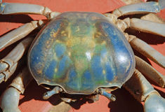 Blue land crab Royalty Free Stock Photography