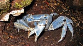 Free Blue Land Crab Cardisoma Guanhumi Costa Rica Stock Photos - 47755283
