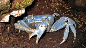 Blue land crab Cardisoma guanhumi Costa Rica Stock Photos