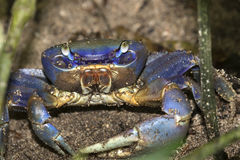Blue Land Crab Stock Photography