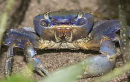 Blue Land Crab Stock Photos
