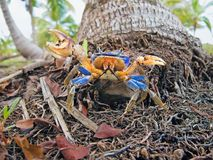 Mangrove crab. A blue land crab, Cardisoma guanhumi, at the foot of a coconut tree trunk, Caribbean, Panama Royalty Free Stock Photos