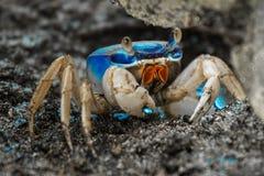Blue land crab. Cardisoma guanhumi guarding the burrow. Cahuita National Park, Costa Rica Stock Image