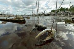 Blue Land Crab (Cardisoma Guanhumi) Stock Photos