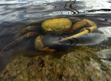 Blue Land Crab (Cardisoma Guanhumi) Royalty Free Stock Photos
