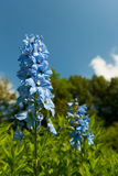 Blue larkspur. In the garden Stock Images