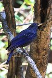 Blue laughing thrush Royalty Free Stock Photo