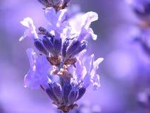 Blue lavender stock images