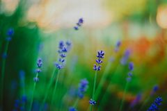 Blue lavender color on green forest background. The lavender fields. Nature and summer. Blossoming lavender flowers stock photos