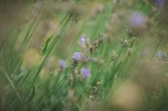 Stems of blue lavender after flowering royalty free stock photo