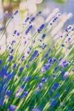 Blue lavender Stock Photos
