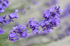 Blue lavender flowers Royalty Free Stock Photography