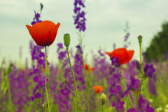 Blue lavender and red poppy flowers closeup royalty free stock images