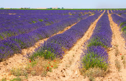 Blue lavender. In sunny day royalty free stock images
