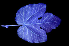 Blue Leaf. Blue Mulberry leaf in detail Royalty Free Stock Photos