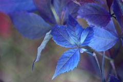 Blue leaf branch. Soft focus. Leaf branch. Soft focus. Blue color tone stock photo