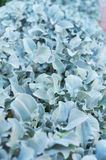 Blue leaves of bush Stock Photography