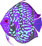 Blue leopard discus fish Stock Photography